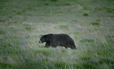 Photograph - Ursus Americanus by Don Wolf