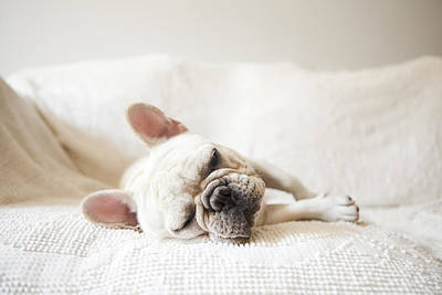 Cute French Bulldog Photograph - Usa, New York State, New York City, Portrait Of French Bulldog Sleeping On Sofa by Jessica Peterson