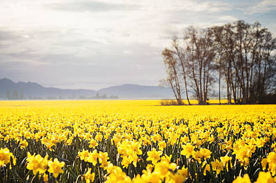 Y120907 Photograph - Usa, Washington, Skagit Valley, Landscape With Daffodil Field by Take A Pix Media