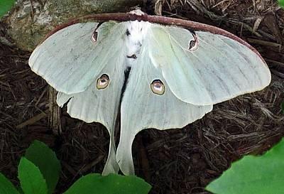 Va Moth Art Print