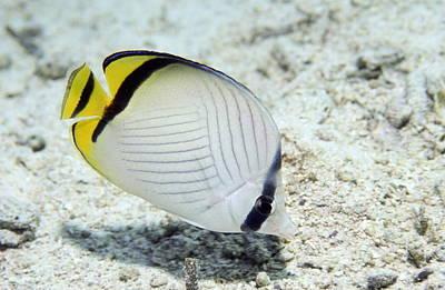 Vagabond Photograph - Vagabond Butterflyfish by Georgette Douwma
