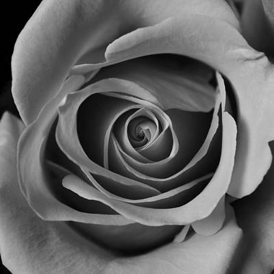 Flower Photograph - Valentine Rose - Bw by Sean Wray