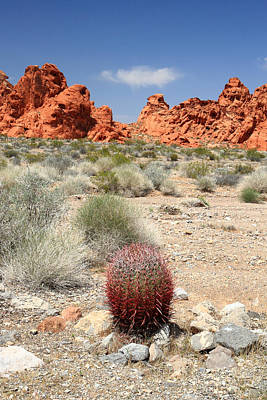 Photograph - Valley Of Fire Red Cactus by Pierre Leclerc Photography
