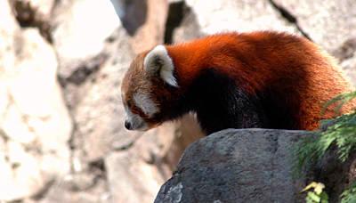 Photograph - Valley Of The Red Panda by LeeAnn McLaneGoetz McLaneGoetzStudioLLCcom