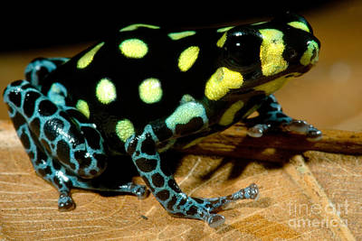 Photograph - Vanzolinis Poison Frog by Dante Fenolio