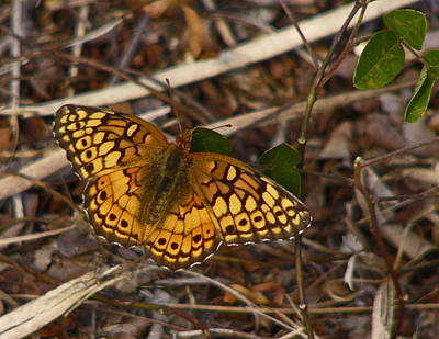 Photograph - Variegated Fritillary Butterfly. by Chris  Kusik