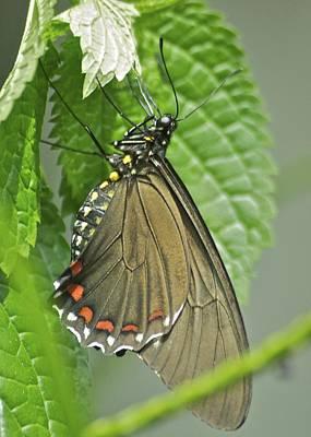 Battus Photograph - Varus Swallowtail 2941 by Michael Peychich