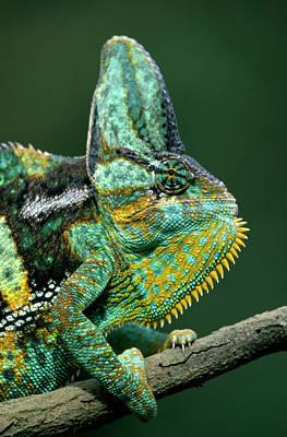Photograph - Veiled Chameleon Chamaeleo Calyptratus by Ingo Arndt