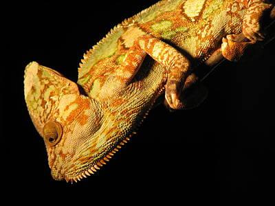 Veiled Chameleon Art Print by Samuel Sheats