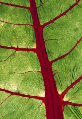 Swiss Chard Photograph - Veins In Chard Leaf by David Nunuk