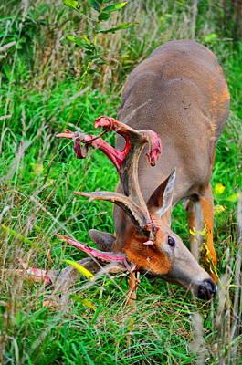 Bucks In Velvet Photograph - Velvet Itch by Emily Stauring