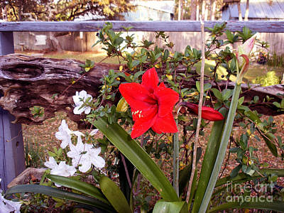 Photograph - Velvet Red Amaryllis by Sibby S