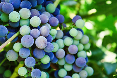 Purple Grapes Digital Art - Veraison by Randy Wehner Photography