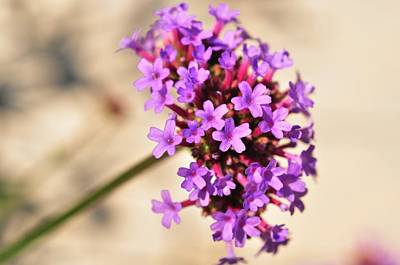 Photograph - Verbena  by Puzzles Shum