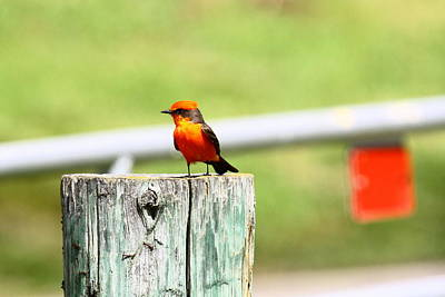 Photograph - Vermilion Flycatcher by Diana Hatcher