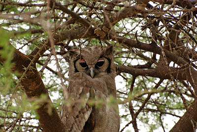 Photograph - Verreaux's Eagle-owl by Harvey Barrison