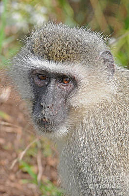 Vervet Monkey Art Print by Jonathan Whichard
