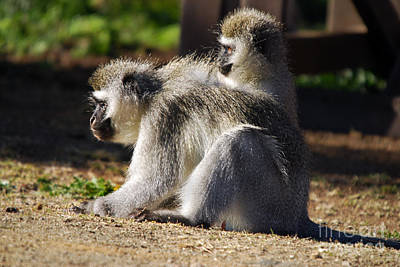 Photograph - Vervet Monkeys  by Alexandra Jordankova