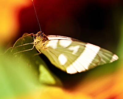Photograph - Vibrant Butterfly by Daniel Marcion