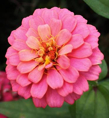 Photograph - Vibrant Pink Zinna by Bruce Bley