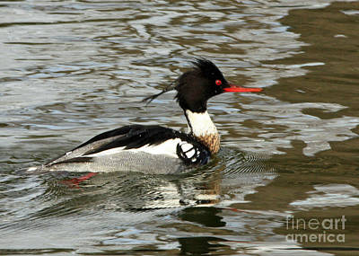 Vibrant Red Breasted Merganser At The Lake Art Print by Inspired Nature Photography Fine Art Photography