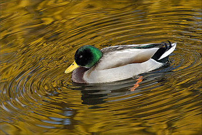 Vibrating Mallard Art Print by Howard Knauer