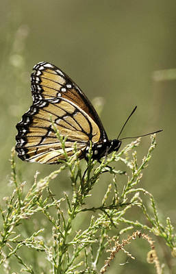 Art Print featuring the photograph Viceroy Butterfly by Betty Depee