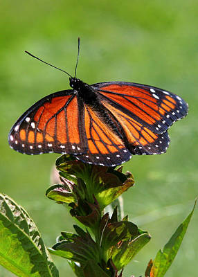 Viceroy Butterfly Number Two Art Print by Paula Tohline Calhoun