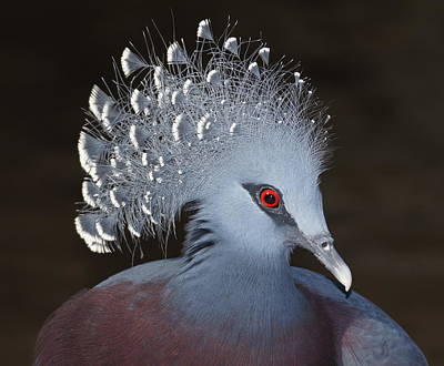 Victoria Crowned Pigeon Art Print by MiracleOfCreation