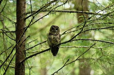 View Of A Northern Spotted Owl Art Print by James P. Blair