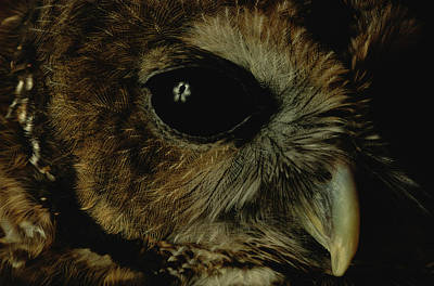 View Of A Northern Spotted Owl Strix Print by Joel Sartore