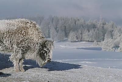 View Of An Ice-encrusted American Bison Art Print by Tom Murphy