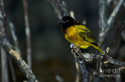 Photograph - Village Weaver by JT Lewis