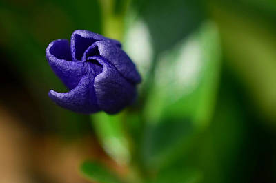 Www.lisaphillips.com Photograph - Vinca Unfolding by Lisa Phillips