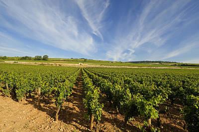 Y120831 Photograph - Vine In Burgundy France by Bernard Jaubert