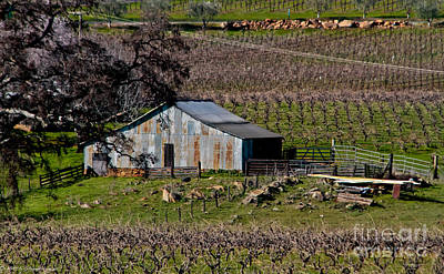 Amador County Photograph - Vineyard Barn by Mitch Shindelbower