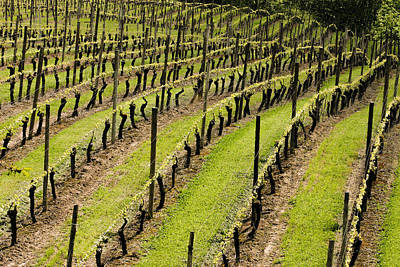 Pinot Noir Photograph - Vineyard In July by Jean Noren