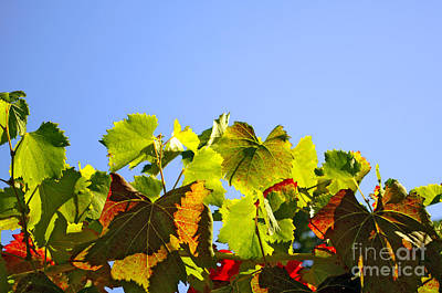 Vineyard Leaves Art Print by Carlos Caetano
