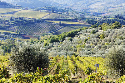 Vineyards And Olive Groves Art Print by Jeremy Woodhouse