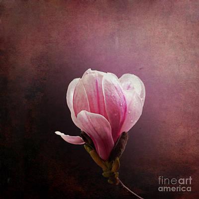 Vintage Magnolia Art Print by Jane Rix
