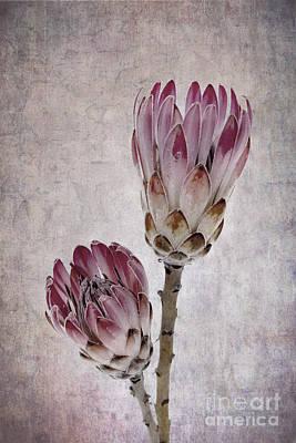 Protea Photograph - Vintage Proteas by Jane Rix