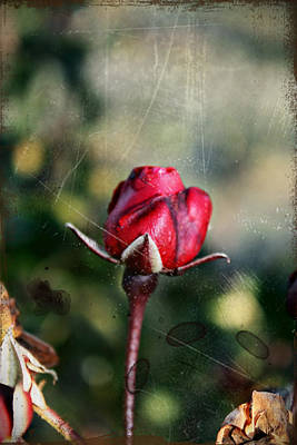 Photograph - Vintage Winter Rose by KayeCee Spain