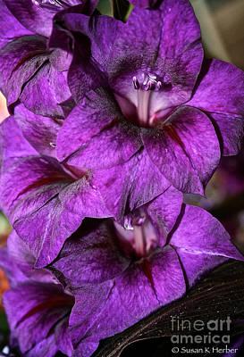 Violet Glads Art Print by Susan Herber