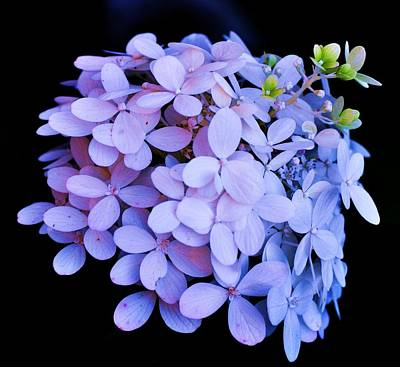 Photograph - Violet Hydrangea Bloom by Lisa  DiFruscio