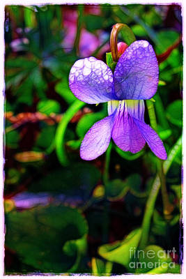 Photograph - Violet With Dew by Judi Bagwell