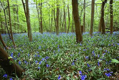 Photograph - Violets In Forest by John Short