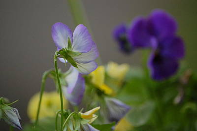 Photograph - Violets by Mary McAvoy