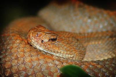 Michigan Detroit Zoo Photograph - Viper by Scott Hovind