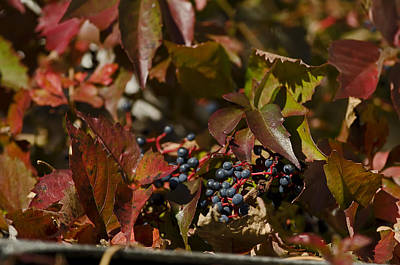 Photograph - Virginia Creeper by JT Lewis