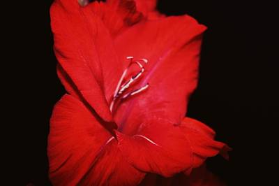 Gladiola. Red Gladiola Photograph - Vision Of Red by Cathie Tyler